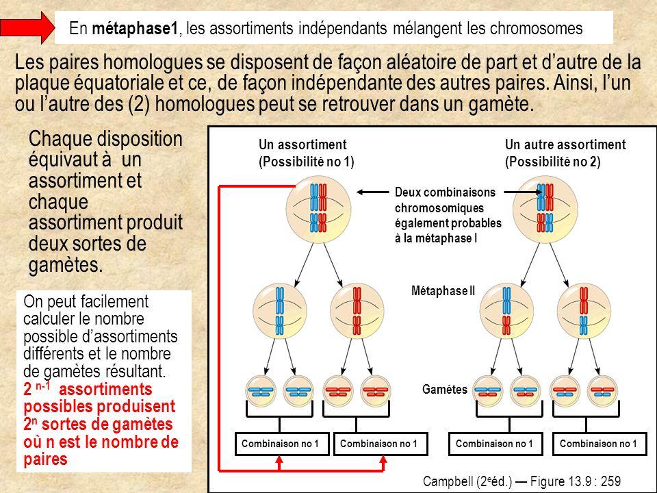 En métaphase1, les assortiments indépendants mélangent les chromosomes Les paires homologues se disposent de façon aléatoire de part et dautre de la p