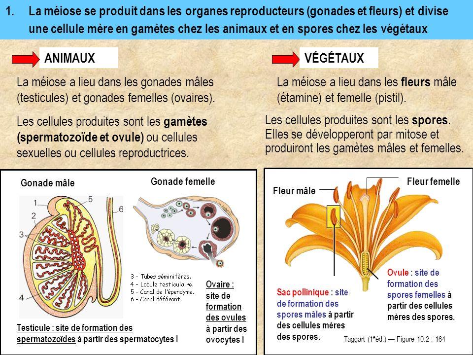 1.La méiose se produit dans les organes reproducteurs (gonades et fleurs) et divise une cellule mère en gamètes chez les animaux et en spores chez les