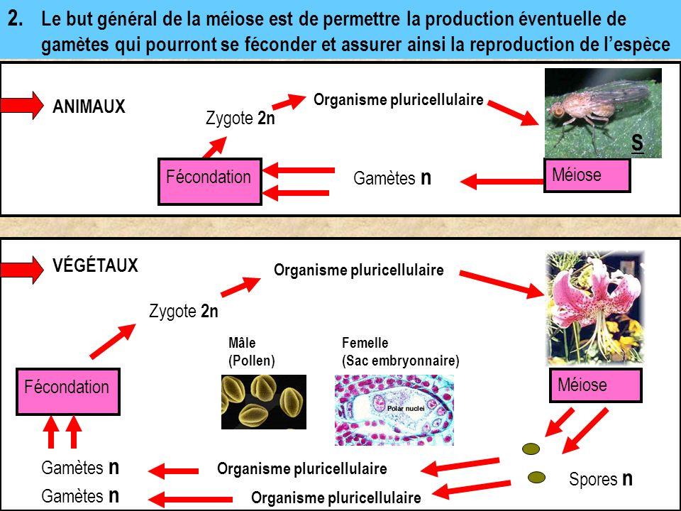 Transformation d une cellule mère (via une double division) en quatre cellules filles qui ne contiennent que la moitié des chromosomes de la cellule mère.