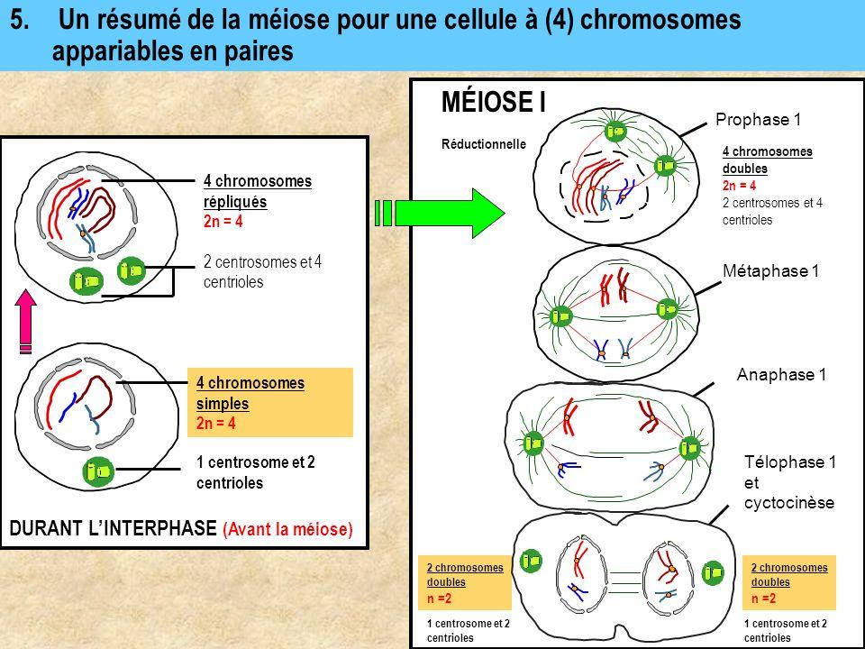 5. Un résumé de la méiose pour une cellule à (4) chromosomes appariables en paires 4 chromosomes simples 2n = 4 DURANT LINTERPHASE (Avant la méiose) 4