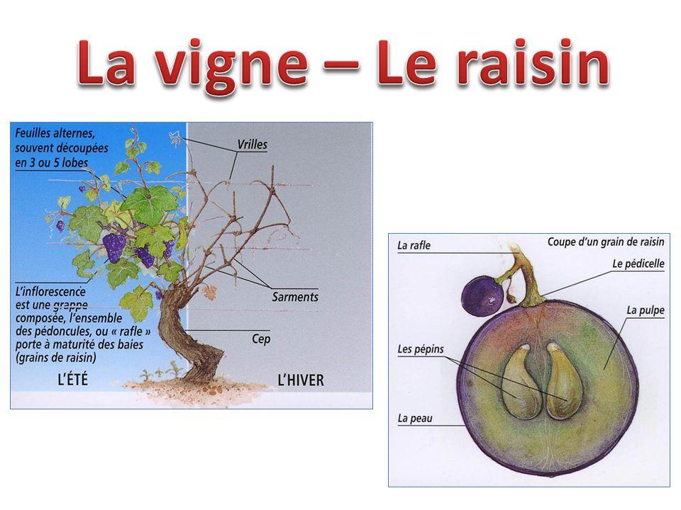 Le déclin de Rome et les invasions barbares font retomber la vigne dans l oubli.