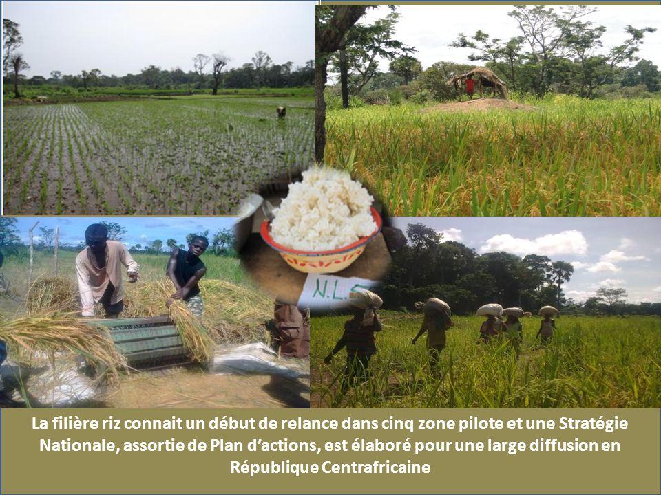 La filière riz connait un début de relance dans cinq zone pilote et une Stratégie Nationale, assortie de Plan dactions, est élaboré pour une large diffusion en République Centrafricaine