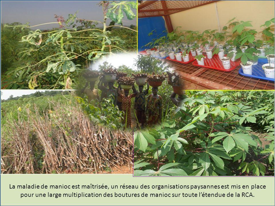 La maladie de manioc est maîtrisée, un réseau des organisations paysannes est mis en place pour une large multiplication des boutures de manioc sur toute létendue de la RCA.