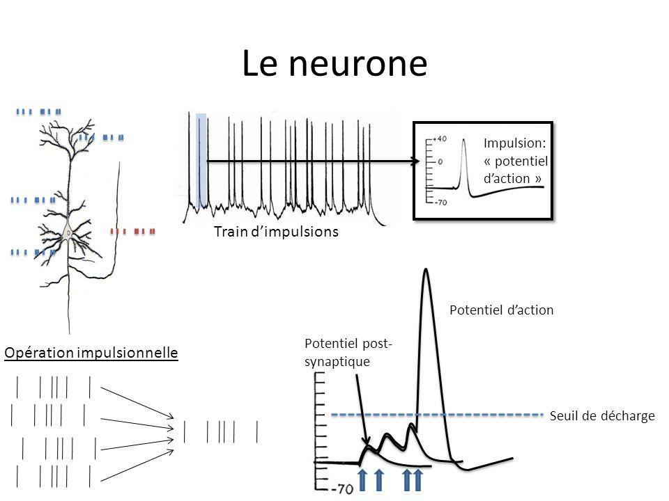 Le neurone Train dimpulsions Impulsion: « potentiel daction » Seuil de décharge Potentiel daction Potentiel post- synaptique Opération impulsionnelle