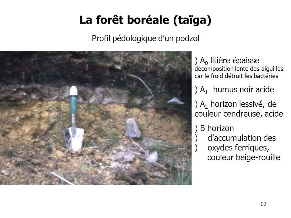 La forêt boréale (taïga) Profil pédologique dun podzol ) A 0 litière épaisse décomposition lente des aiguilles car le froid détruit les bactéries ) A