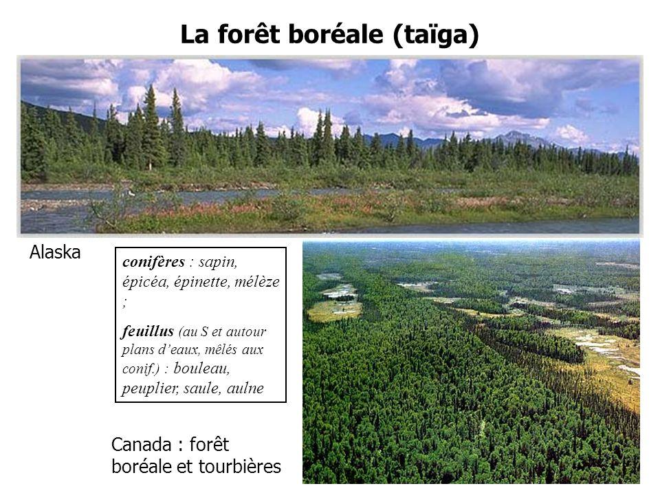 La forêt boréale (taïga) Alaska Canada : forêt boréale et tourbières conifères : sapin, épicéa, épinette, mélèze ; feuillus (au S et autour plans deaux, mêlés aux conif.) : bouleau, peuplier, saule, aulne 12