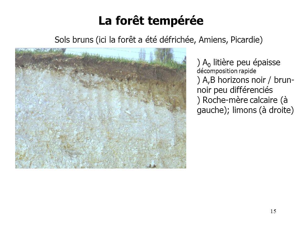 La forêt tempérée Sols bruns (ici la forêt a été défrichée, Amiens, Picardie) ) A 0 litière peu épaisse décomposition rapide ) A,B horizons noir / brun- noir peu différenciés ) Roche-mère calcaire (à gauche); limons (à droite) 15