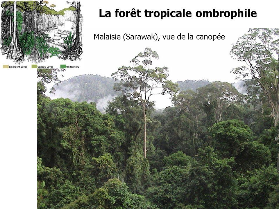 La forêt tropicale ombrophile Malaisie (Sarawak), vue de la canopée 25