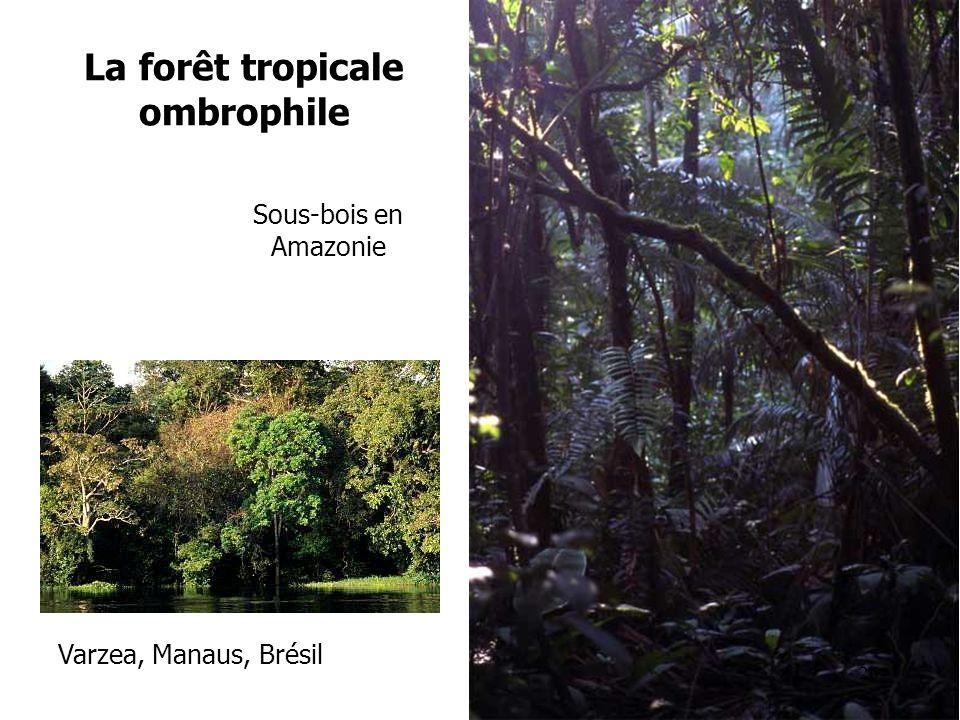 La forêt tropicale ombrophile Sous-bois en Amazonie Varzea, Manaus, Brésil 26