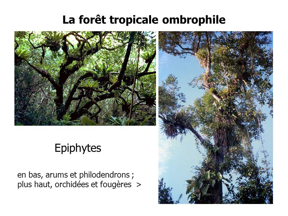 La forêt tropicale ombrophile Epiphytes en bas, arums et philodendrons ; plus haut, orchidées et fougères > 27