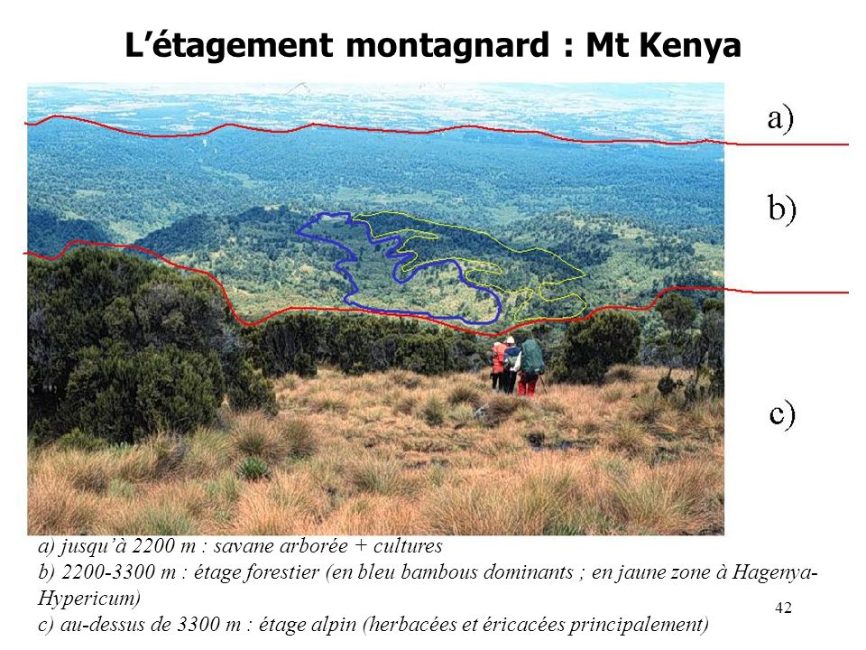 Létagement montagnard : Mt Kenya a) jusquà 2200 m : savane arborée + cultures b) 2200-3300 m : étage forestier (en bleu bambous dominants ; en jaune zone à Hagenya- Hypericum) c) au-dessus de 3300 m : étage alpin (herbacées et éricacées principalement) 42