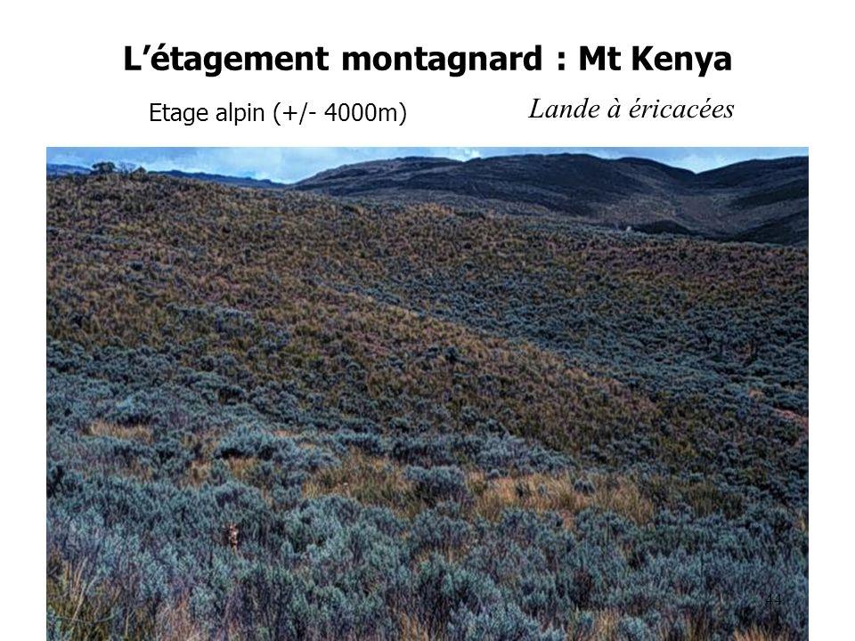 Létagement montagnard : Mt Kenya Etage alpin (+/- 4000m) Lande à éricacées 44