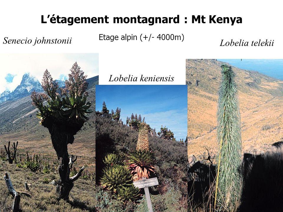 Létagement montagnard : Mt Kenya Etage alpin (+/- 4000m) Senecio johnstonii Lobelia telekii Lobelia keniensis 45