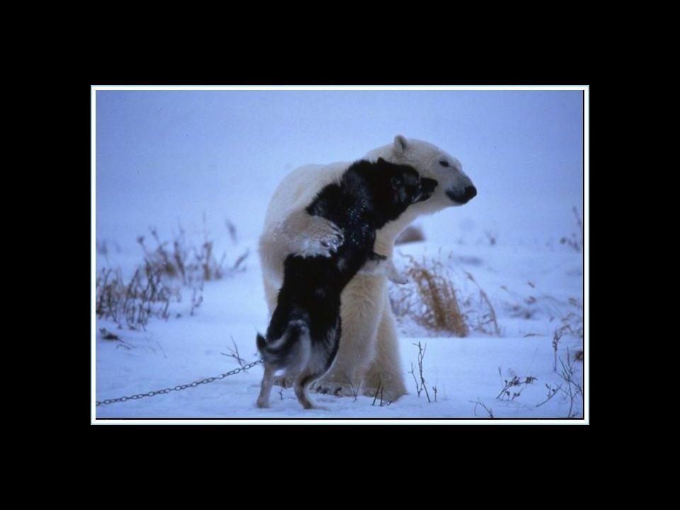 L ours polaire est revenu toutes les nuits durant la semaine pour jouer avec les chiens… L ours polaire est revenu toutes les nuits durant la semaine pour jouer avec les chiens…