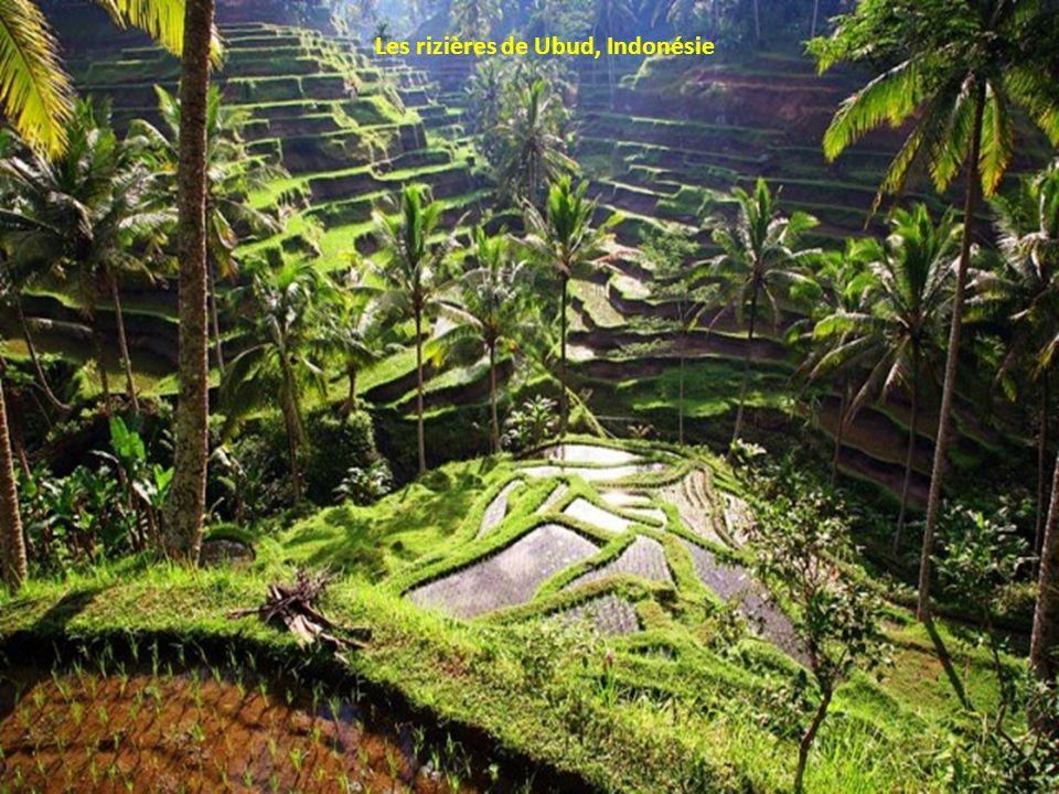 Les rizières de Ubud, Indonésie