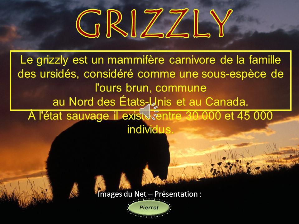 Le grizzly est un mammifère carnivore de la famille des ursidés, considéré comme une sous-espèce de l ours brun, commune au Nord des États-Unis et au Canada.