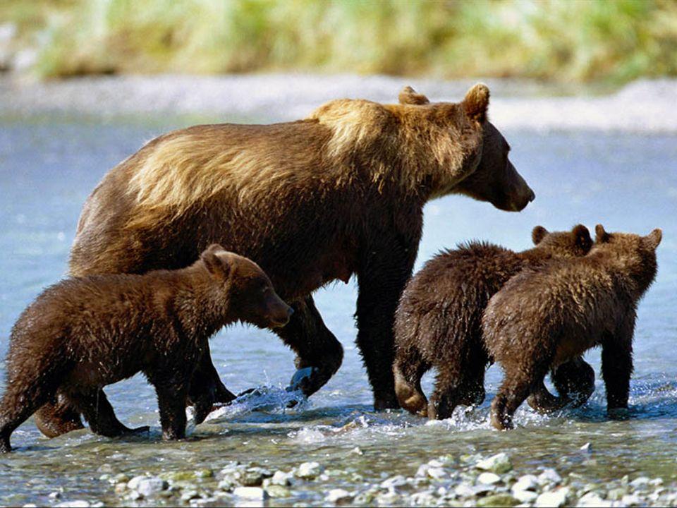 Le grizzly peut se reproduire dès l'âge de 4-6 ans. Le mâle dominant saccouple avec plusieurs femelles à la fin du printemps. Chaque année, la femelle