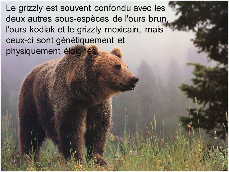 Le grizzly est souvent confondu avec les deux autres sous-espèces de l ours brun, l ours kodiak et le grizzly mexicain, mais ceux-ci sont génétiquement et physiquement éloignés.