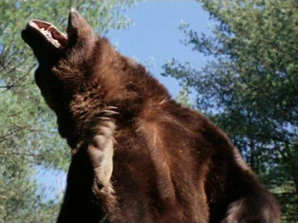 Le grizzly est souvent confondu avec les deux autres sous-espèces de l'ours brun, l'ours kodiak et le grizzly mexicain, mais ceux-ci sont génétiquemen