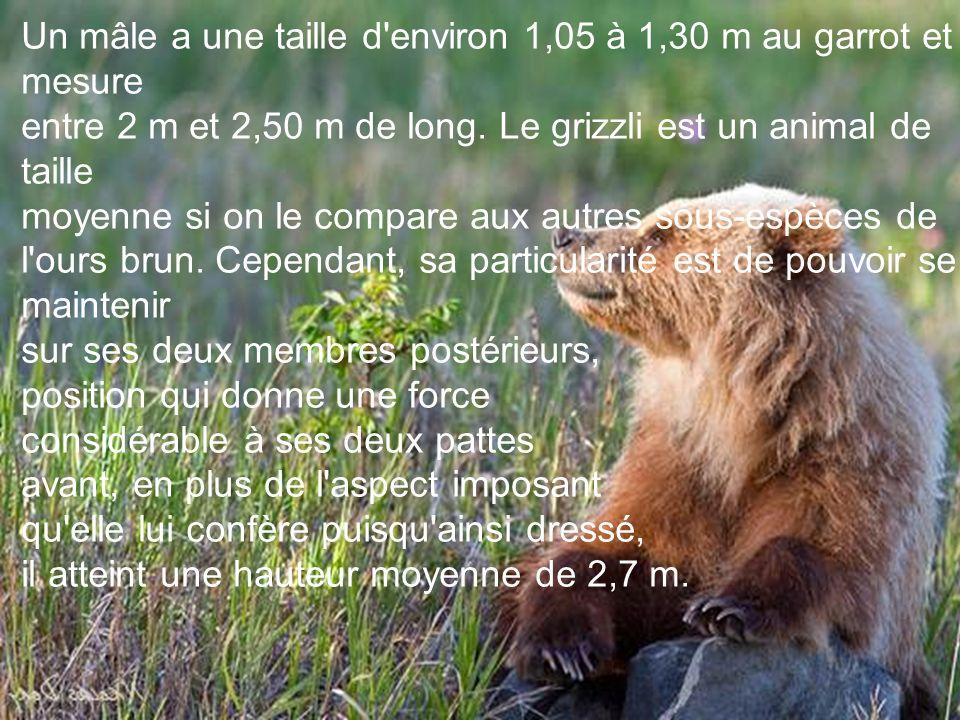 Un mâle a une taille d environ 1,05 à 1,30 m au garrot et mesure entre 2 m et 2,50 m de long.