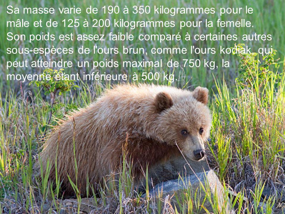 Un mâle a une taille d'environ 1,05 à 1,30 m au garrot et mesure entre 2 m et 2,50 m de long. Le grizzli est un animal de taille moyenne si on le comp