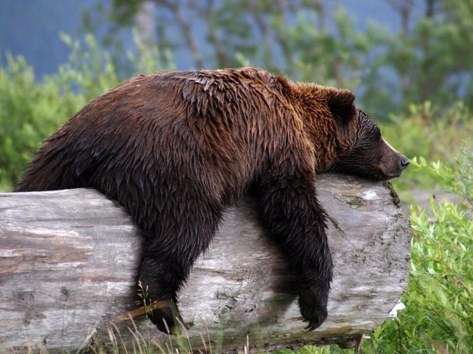 Sa masse varie de 190 à 350 kilogrammes pour le mâle et de 125 à 200 kilogrammes pour la femelle. Son poids est assez faible comparé à certaines autre