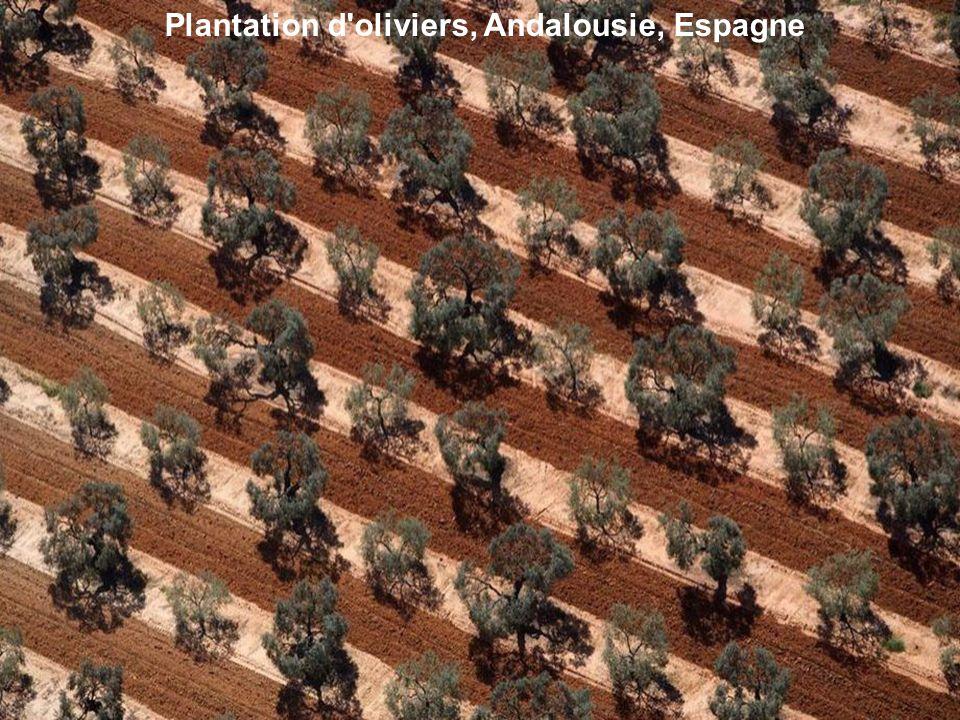 Plantation d'oliviers, Andalousie, Espagne