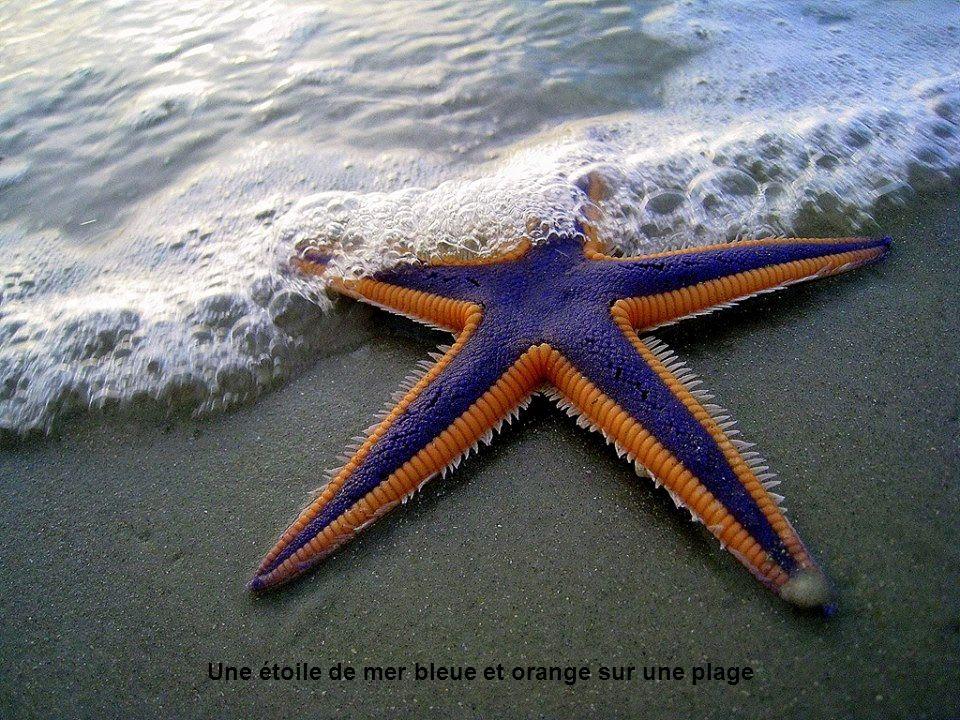 Une étoile de mer bleue et orange sur une plage