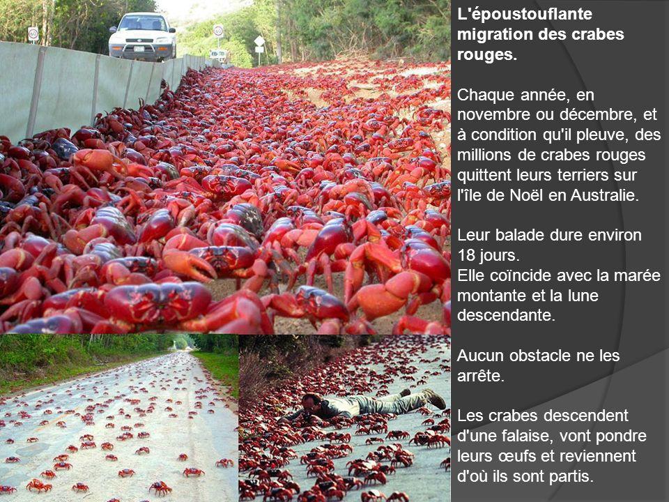 L'époustouflante migration des crabes rouges. Chaque année, en novembre ou décembre, et à condition qu'il pleuve, des millions de crabes rouges quitte