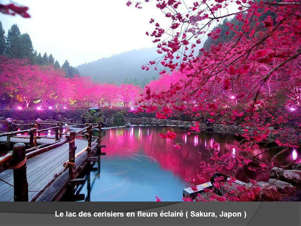 Le lac des cerisiers en fleurs éclairé ( Sakura, Japon )