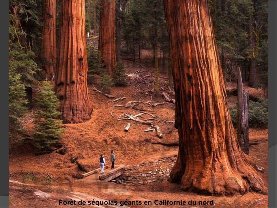 Forêt de séquoias géants en Californie du nord.