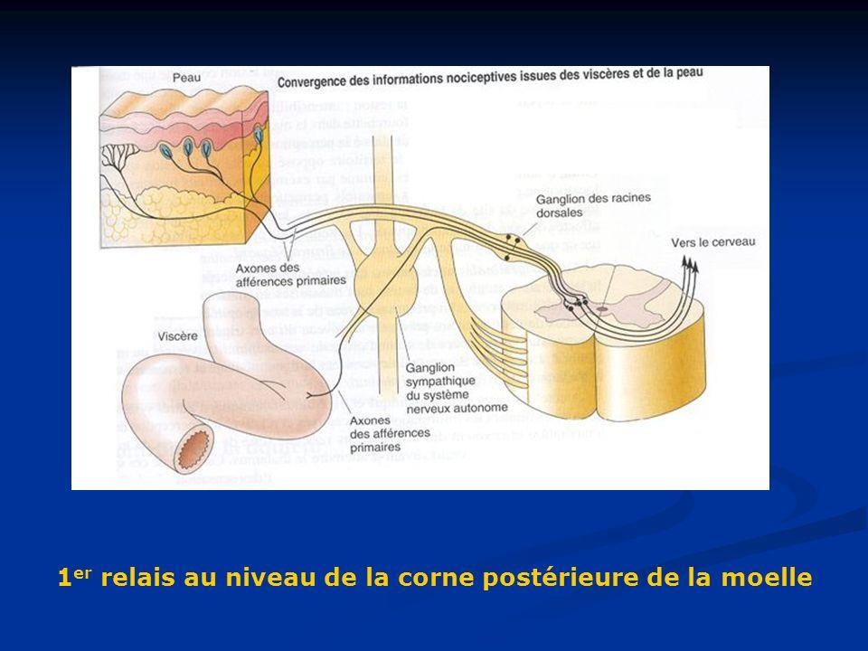 1 er relais au niveau de la corne postérieure de la moelle