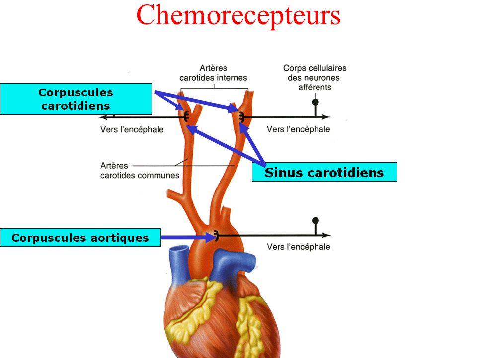Chemorecepteurs
