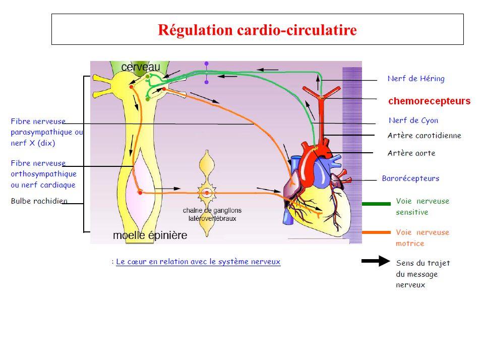 Régulation cardio-circulatire