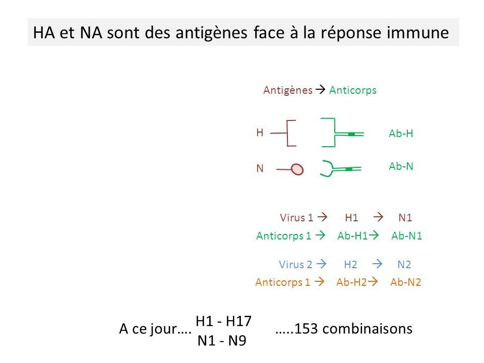 HA et NA sont des antigènes face à la réponse immune Virus 1 H1 N1 Anticorps 1 Ab-H1 Ab-N1 Antigènes Anticorps H N Ab-H Ab-N Virus 2 H2 N2 Anticorps 1