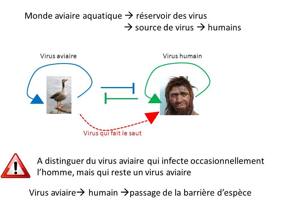 Monde aviaire aquatique réservoir des virus source de virus humains Virus aviaire humain passage de la barrière despèce Virus aviaireVirus humain Virus qui fait le saut A distinguer du virus aviaire qui infecte occasionnellement lhomme, mais qui reste un virus aviaire