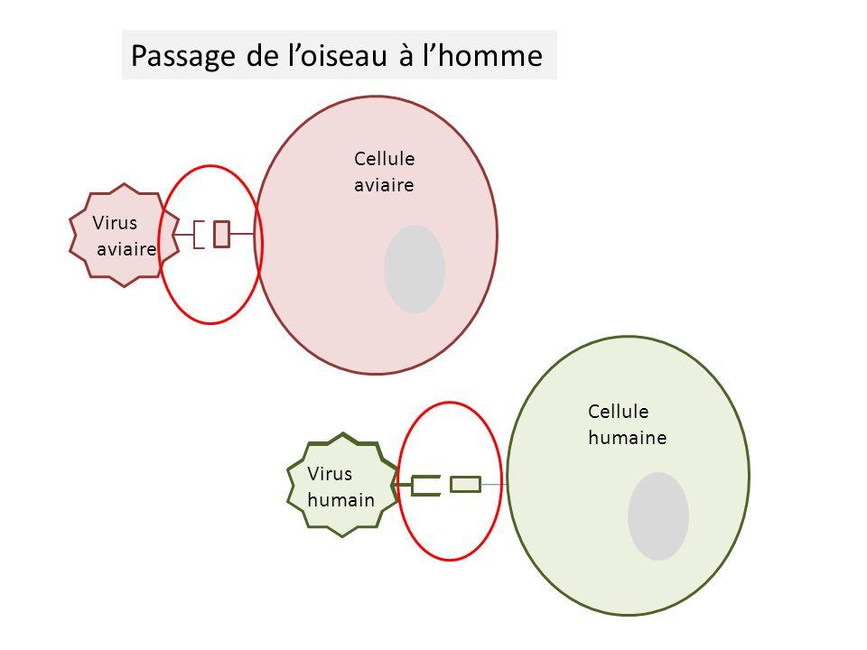 Virus aviaire Cellule aviaire Virus humain Cellule humaine Cellule humaine Passage de loiseau à lhomme Virus humain