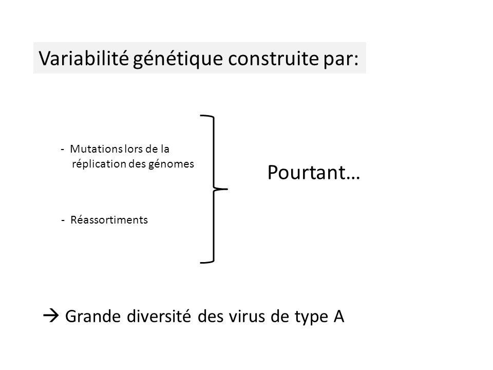Variabilité génétique construite par: - Mutations lors de la réplication des génomes - Réassortiments Grande diversité des virus de type A Pourtant…