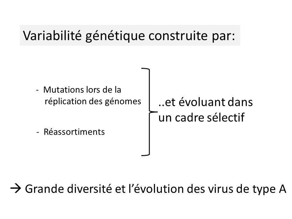 Variabilité génétique construite par: - Mutations lors de la réplication des génomes - Réassortiments Grande diversité et lévolution des virus de type A..et évoluant dans un cadre sélectif