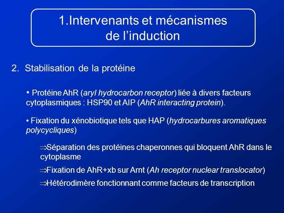 1.Intervenants et mécanismes de linduction 2. Stabilisation de la protéine Protéine AhR (aryl hydrocarbon receptor) liée à divers facteurs cytoplasmiq