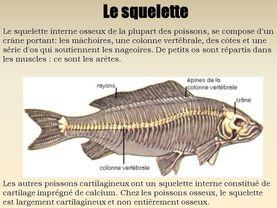 Le squelette Le squelette interne osseux de la plupart des poissons, se compose d'un crâne portant: les mâchoires, une colonne vertébrale, des côtes e