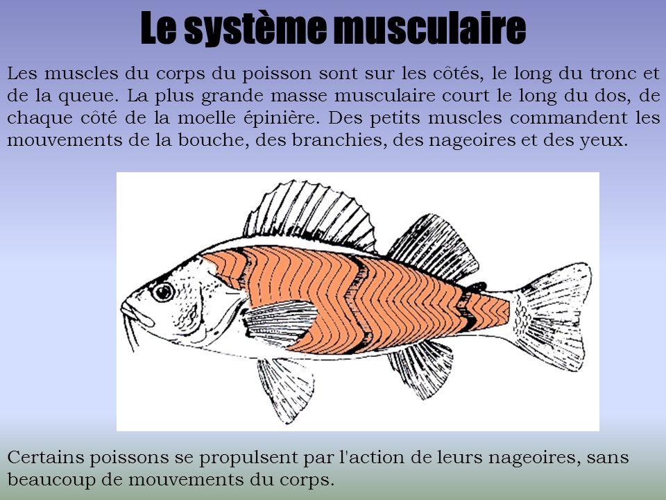 Le système musculaire Les muscles du corps du poisson sont sur les côtés, le long du tronc et de la queue. La plus grande masse musculaire court le lo