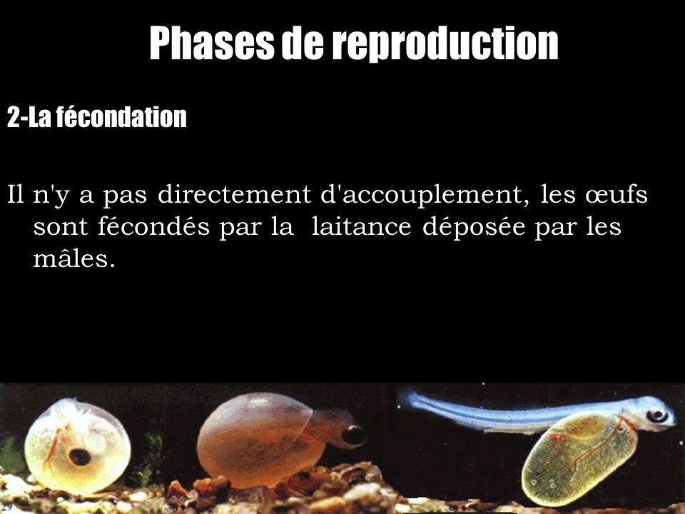 Phases de reproduction 2-La fécondation Il n'y a pas directement d'accouplement, les œufs sont fécondés par la laitance déposée par les mâles.