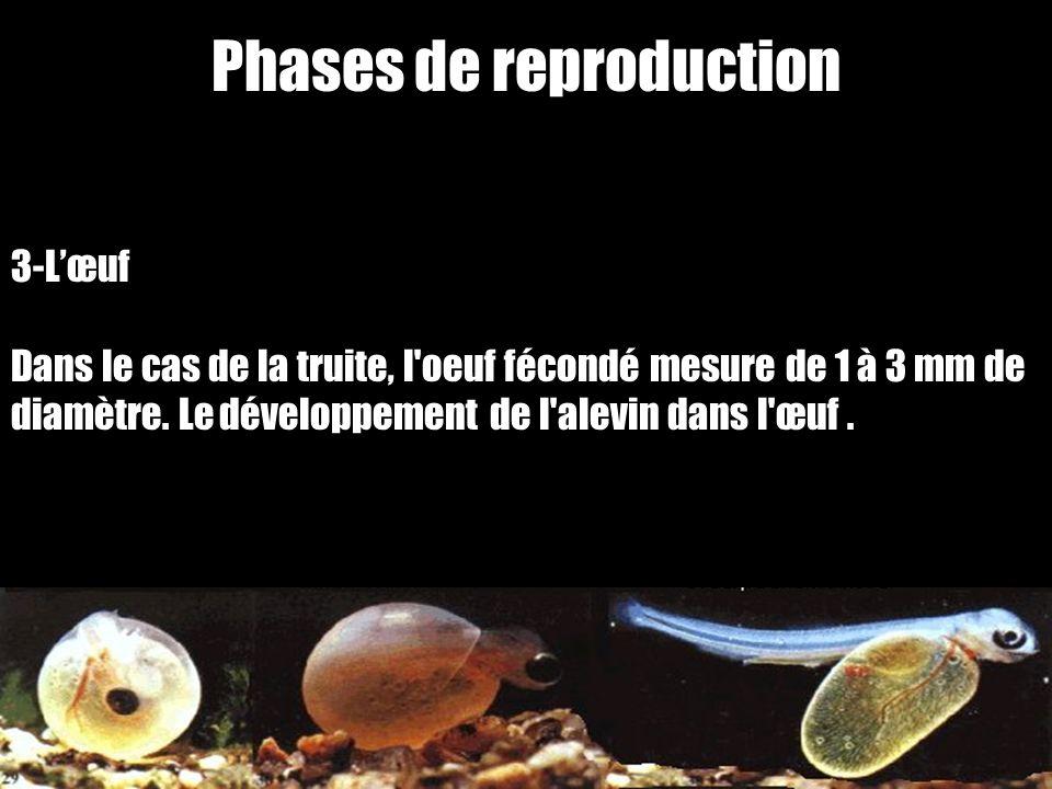 Phases de reproduction 3-Lœuf Dans le cas de la truite, l'oeuf fécondé mesure de 1 à 3 mm de diamètre. Le développement de l'alevin dans l'œuf.