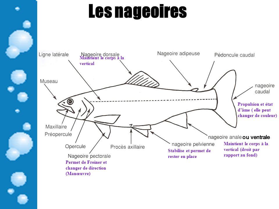 Les nageoires Permet de Freiner et changer de direction (Manœuvre) Propulsion et état dâme ( elle peut changer de couleur) Maintient le corps à la ver
