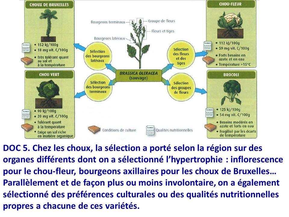 DOC 5. Chez les choux, la sélection a porté selon la région sur des organes différents dont on a sélectionné lhypertrophie : inflorescence pour le cho