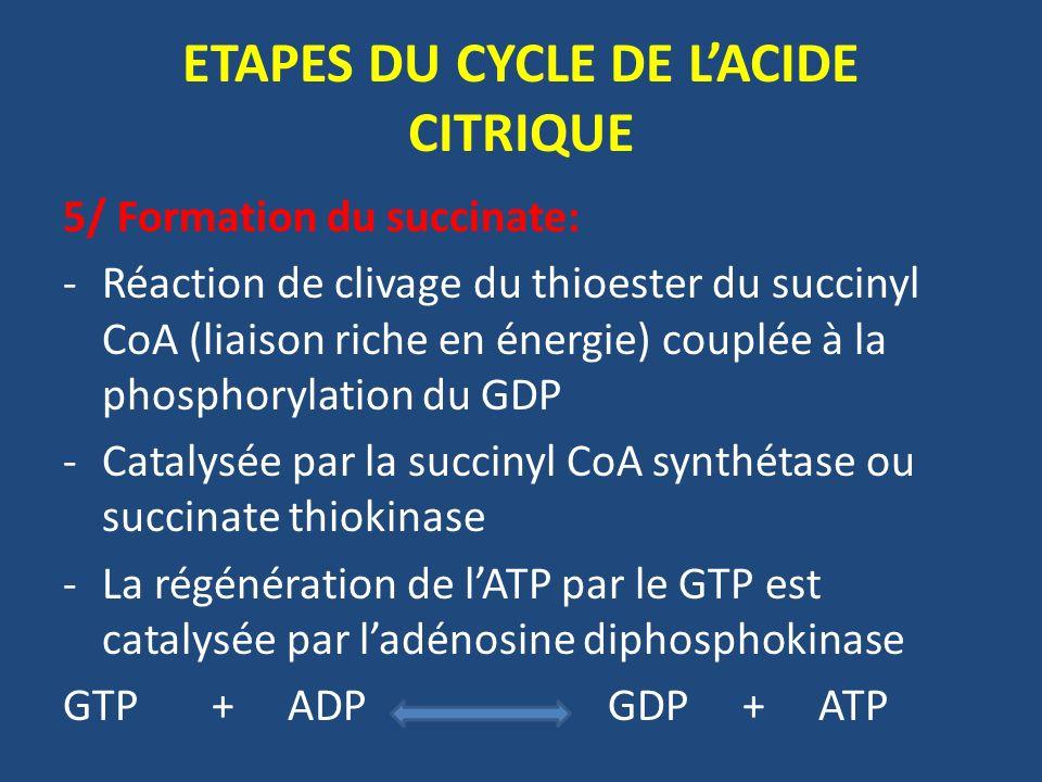 5/ Formation du succinate: -Réaction de clivage du thioester du succinyl CoA (liaison riche en énergie) couplée à la phosphorylation du GDP -Catalysée