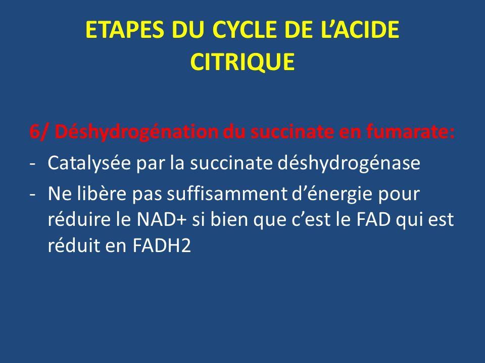 6/ Déshydrogénation du succinate en fumarate: -Catalysée par la succinate déshydrogénase -Ne libère pas suffisamment dénergie pour réduire le NAD+ si