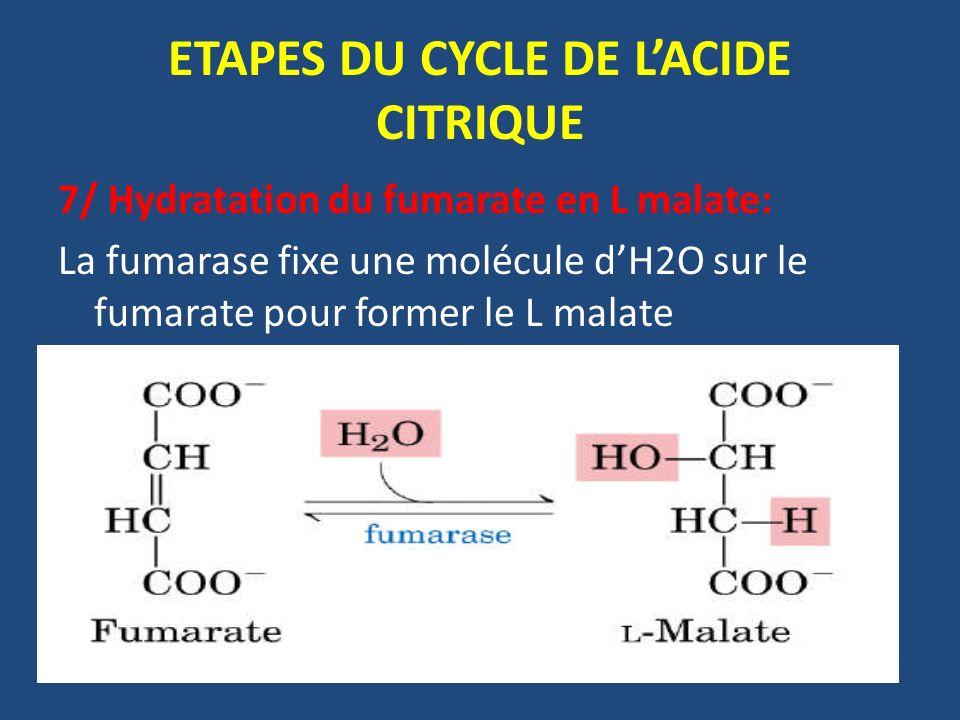 7/ Hydratation du fumarate en L malate: La fumarase fixe une molécule dH2O sur le fumarate pour former le L malate