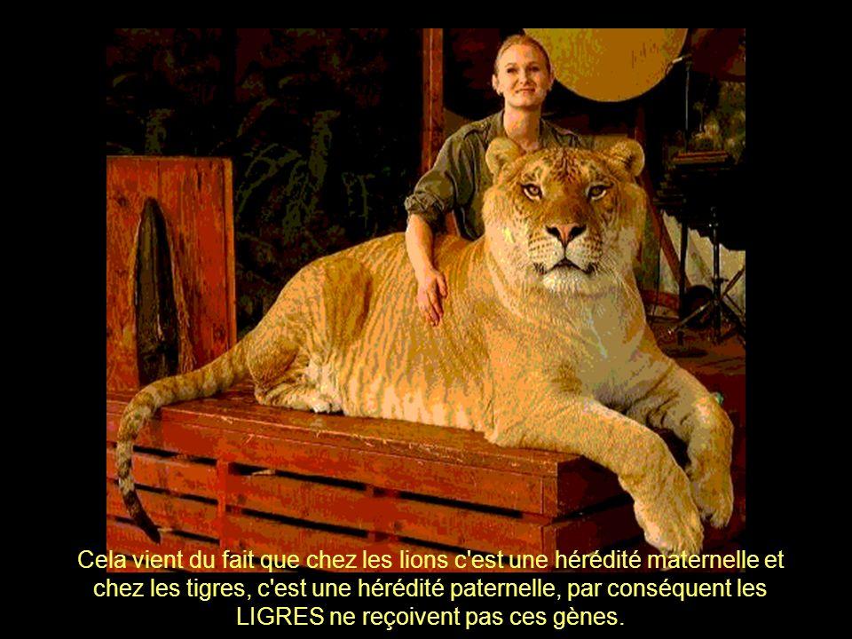 On croit que l'énorme volume quatteignent ces animaux est dû à l'absence des gènes qui conditionnent la production d'hormones inhibiteurs de croissanc